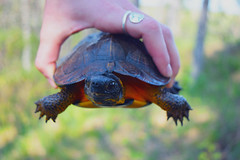 Holding Wood Turtle (U.S. Fish and Wildlife Service - Midwest Region) Tags: wood turtle research upper midwest riverine habitat improvement project riverne michigan state wildlife competitive grant spring study monitoring population dnr department natural resources phase reptile