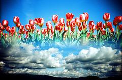 -sky garden (Hodaka Yamamoto) Tags: park sky cloud flower film garden spring lomo lca xpro lomography crossprocessed xprocess crossprocess double lomolca multipleexposure highland crossprocessing tulip filmcamera doubles multiexposure filmphotography
