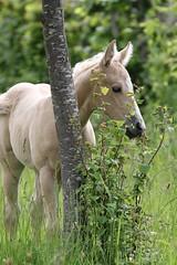 Nicci (winkler.roger) Tags: horse animal filly foal americanquarterhorse domesticanimal