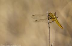 Dragonfly (juanmatruji) Tags: espaa andaluca almera