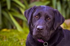 Expresin.. (Mab.B) Tags: dog black labrador negro can perro mascotas profundidaddecampo airelibre nikond3200 expresion cuatropatas