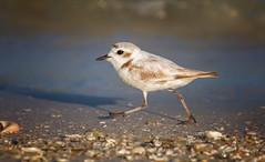 Nothing Gonna Break My Stride (kathybaca) Tags: cute bird beach nature birds florida snowy earth wildlife birding feathers aves endangered rare plover nesting shorebirds