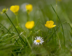 Butter cups and daisy (Through Bri`s Lens) Tags: green grass yellow canon lawn f4 daisys buttercups 24105 canon24105f4 brianspicer canon5dmk3