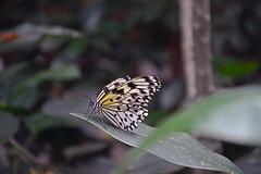 Rice Paper (arda292000) Tags: butterfly wings butterflies ricepaper idealeuconoe magicwings butterflyconservatory southdeerfieldma