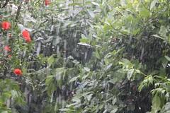 Triste giornata sotto una violenta grandinata #grandine #grey #granizo #tuscanygram #haglvejr #grele #glazba #igerstoscana #bagyo #natgeo #trees #rain #hailstorm #haglvejr #stormyweather #dhoruba #weather #hail #garden #gardenunderhail #lovegarden #garden (stefola24) Tags: trees rain weather hail garden grey gardening granizo stormyweather hailstorm natgeo grandine lovegarden glazba grele bagyo haglvejr dhoruba tuscanygram igerstoscana gardenunderhail