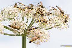 Umbellifer buddies VI (Dom Greves) Tags: dorset flower grassland hedgerow ichneumon insect invertebrate june summer uk umbellifer wasp wildflower wildlife swarm multiple