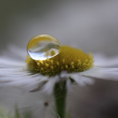 Mini Daisy v1 (WickedIllusion) Tags: plant flower macro reflection outdoor drop depthoffield daisy droplet