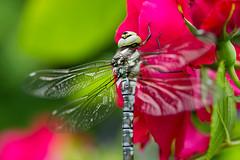 IMG_7537 (ruut103) Tags: closeup fauna photo dragonfly