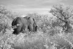 Surprising How Easily They Hide (zenseas : )) Tags: morning wild vacation blackandwhite bw holiday elephant male ir early driving safari infrared etosha loxodontaafricana selfdrive halali etoshanationalpark inthebushes selfdrivesafari outsidemytruck