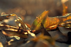 random (joy.jordan) Tags: leaf texture light bokeh 52by52