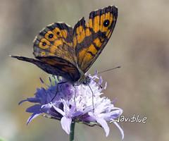 Lobito listado (javiblue25) Tags: espaa naturaleza insectos macro zaragoza bichos macrofotografa floresmariposa