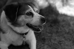Happy Layla (q.chris.d) Tags: falmouth massachusetts cape cod dog black and white