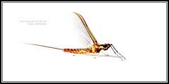 Mayfly on White (J Michael Hamon) Tags: camera white macro nature bug insect lens nikon whitebackground micro 40mm nikkor mayfly hamon d3200 photoborder