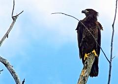 Fledgling #2 (Scott M. Mohn) Tags: bird nature animals wings eagle wildlife flight predator birdofprey eaglet eagleflying sonyilca77m2 feldging