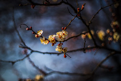 apricot blossoms (serhiidiedushev) Tags: apricot blossoms nature beautiful tree outdoor eos canon bokeh blossom spring