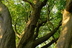 Buche am Fischteich - 2016 - 0010_Web (berni.radke) Tags: tree giant baum beech buche colossus riese fischteich dlmen hausdlmen