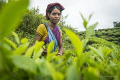 Srimangal-6227 (BohemianTraveler) Tags: asia tea bangladesh srimangal srimongol sreemangal