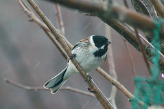 Reed Bunting3 (catman1515) Tags: reedbunting scottishwildlife