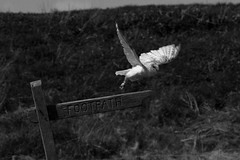 Take off (Gordon Bishop) Tags: bird post off sigh owl take prey takeoff