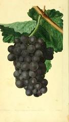 n37_w1150 (BioDivLibrary) Tags: fruitculture greatbritain periodicals umassamherstlibrariesarchiveorg bhl:page=21837328 dc:identifier=httpbiodiversitylibraryorgpage21837328 artist:name=augustainneswithers artist:viaf=95819243 taxonomy:binomial=vitislanata womeninscience augustainneswithers q2870951 illustrator:wikidata=q2870951 hernaturalhistory