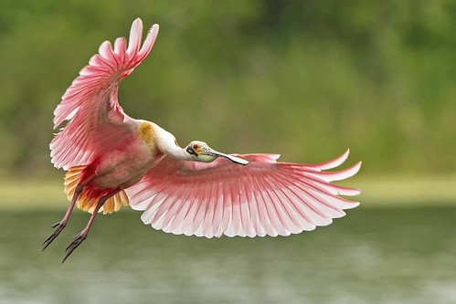 Another Spoonbill in flight