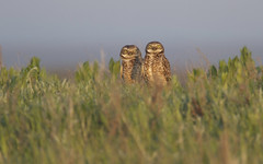 Burrowing Owls (Athene cunicularia) (markherse) Tags: bird nature pair raptor owl prairie birdofprey flinthills athenecunicularia burrowingowl tallgrassprairienationalpreserve canon7d