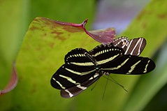 Male Zebra longwings are mating with female still in the pupa (jungle mama) Tags: butterfly mating pupa cocoon zebralongwing heliconian fairchildgarden fairchildtropicalbotanicgarden longwing tropicalbutterfly heliconius supershot zebralongwingmating zebralongingpupa