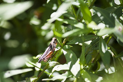 Toby (Yann Tastayre) Tags: ontario canada green nature grass canon bug insect rebel leaf wildlife cricket xs