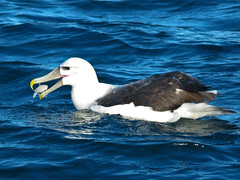White Capped Albatross (Mike Parfitt) Tags: birds coastal