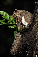 Eastern Gray Squirrel (Kevin B Photo) Tags: park trees summer usa brown hot color tree nature beauty closeup america forest outside outdoors photography one colorful warm day exterior unitedstates natural florida native wildlife south peaceful calm southern perch daytime perched summertime fl southeast serenitynow wowiekazowie