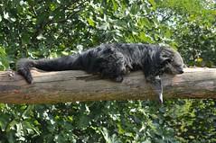 Binturong in der Espace zoologique de Saint-Martin-la-Plaine (Ulli J.) Tags: zoo espacezoologiquedesaintmartinlaplaine saintmartinlaplaine frankreich france loire rhnealpes marderbr binturong bearcat