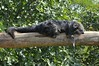 Binturong in der Espace zoologique de Saint-Martin-la-Plaine (Ulli J.) Tags: zoo espacezoologiquedesaintmartinlaplaine saintmartinlaplaine frankreich france loire rhônealpes marderbär binturong bearcat