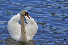 Shear Beauty (Ivan Naurholm. thanks, for more than 500.000 views) Tags: blue bird water copenhagen denmark swan danmark københavn muteswan