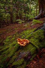 Forest Floor, Clumber Park in Nottinghamshire (chris.ashwin) Tags: wood uk flowers trees summer england wet rain forest moss flora website fungus nottinghamshire fung clumberpark
