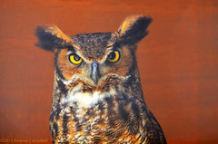 Great Horned Owl (AcrylicArtist) Tags: bird nature birds michigan owl owls greathornedowl