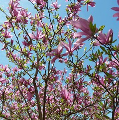 Wheaton, IL, Flowering Pink Magnolia Tree (lalobamfw (thanks for 625K+ views)) Tags: pink flowers tree nature spring blossoms foliage magnolia blooms magnoliatree wheatonil
