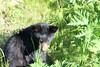 Black bear cub (SteveKenzell) Tags: grass alaska cub juneau blackbear horsetail steepcreek