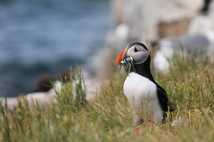 Puffin (Hannah_Kirkland) Tags: bird nature islands wildlife national trust puffin farne