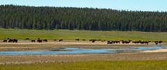 Herd of Bison (Eli Nelson) Tags: blue trees wild sky green water canon river eos rebel yellowstonenationalpark yellowstone bison herd animalplanet canonef24105f4lisusm t1i
