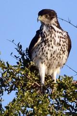 DSC_4203 African Hawk-Eagle (Aquila spilogaster) (Arno Meintjes Wildlife) Tags: africa southafrica wildlife safari krugerpark kruger africanhawkeagle aquilaspilogaster arnomeintjes