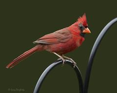 A Kentucky Cardinal.............D800 (Larry Daugherty ~ Very Slow for several days :-)) Tags: bird nature fly wings nikon cardinal kentucky feathers d800 malecardinal redbird kentuckycardinal elizabethtownkentucky kentuckystatebird nikond800 saariysqualitypictures mygearandme mygearandmepremium mygearandmebronze mygearandmesilver mygearandmegold mygearandmeplatinum mygearandmediamond nikon500mmf4lens hardincokentucky