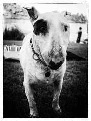 Roxy (Marc Gommans) Tags: bw dog dutch zwartwit hond hund roxy bullterrier ep3 maashees penography marcgommans microfourthirds olympusep3