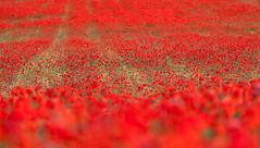 (pgaros) Tags: red espaa flores flower primavera field spring spain rojo bokeh poppy campo coquelicot navarra amapola poppyfield berriozar campodeamapolas berrioplano nuevoartica pgaros pablogarcaoss bergazki wwwpgarciaosescom
