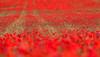 (pgaros) Tags: red españa flores flower primavera field spring spain rojo bokeh poppy campo coquelicot navarra amapola poppyfield berriozar campodeamapolas berrioplano nuevoartica pgaros pablogarcíaosés bergazki wwwpgarciaosescom