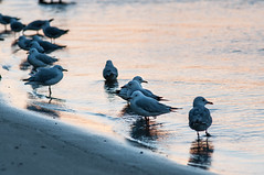 At the End of the Day (MrBlackSun) Tags: bird port oz seagull australia waterbird pelican nsw newsouthwales aussie macquarie portmacquarie