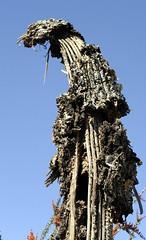 Dead Saguaro (WWI Bob) Tags: arizona cactus plant cacti dead nationalpark tucson gimp bones saguaro saguaronationalpark nikkor70300 nikon70300
