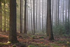 Fairytale forrest (Rene Mensen) Tags: tree nikon forrest thenetherlands boom bos sunray drenthe exloo d5100