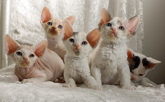 All Five (peter_hasselbom) Tags: cats cat 50mm kitten flash kittens litter devonrex 5weeksold 1flash 5cats 5kittens