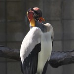 King Vulture thumbnail