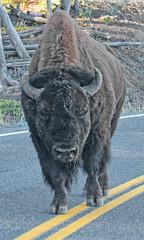 HIWAY STROLL (ddt_uul) Tags: park fall nationalpark buffalo montana bull american yellowstonenationalpark yellowstone bison
